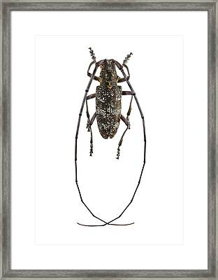 Black Pine Sawyer Beetle Framed Print by F. Martinez Clavel