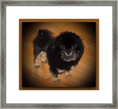 Black Pom With Lion Cut Framed Print by Sanford