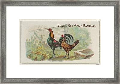 Black Red Game Bantams, From The Prize Framed Print by Allen & Ginter