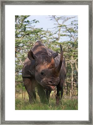 Black Rhino (diceros Bicornis Framed Print by Keren Su