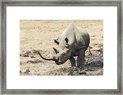Black Rhino  Diceros Bicornis Framed Print