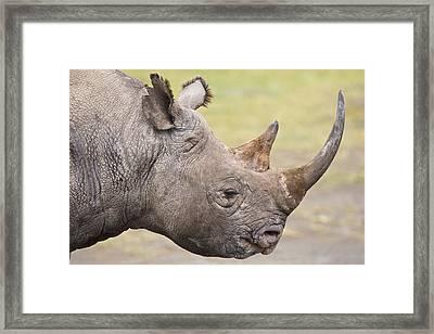 Black Rhino Great Rift Valley Kenya Framed Print by Elliott Neep
