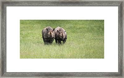 Black Rhinoceros Diceros Bicornis Michaeli In Captivity Framed Print by Matthew Gibson