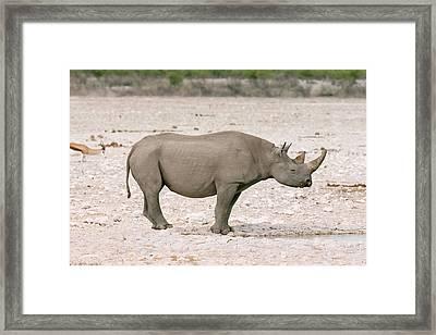 Black Rhinoceros Framed Print