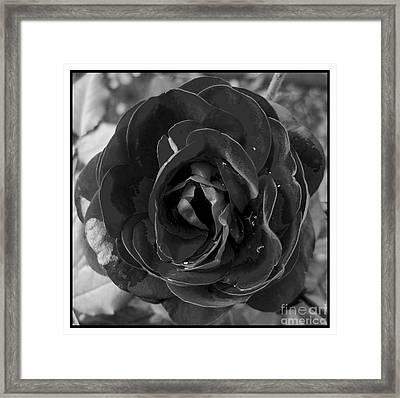 Black Rose Framed Print by Nina Ficur Feenan