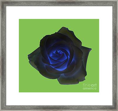 Black Rose With Vibrant Blue Petals At Centre On Green Framed Print by Rosemary Calvert