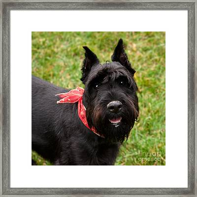 Black Schnauzer With Red Bow Smiling Framed Print by Iris Richardson