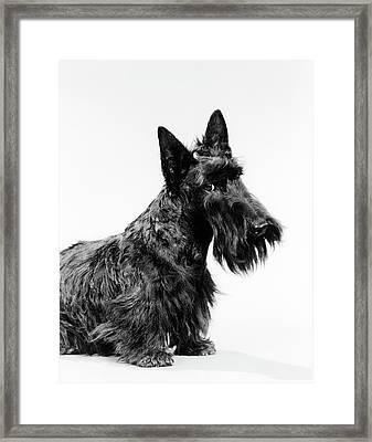 Black Scottie Scottish Terrier Dog Framed Print