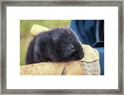Black Scottish Water Vole Framed Print by Paul Williams