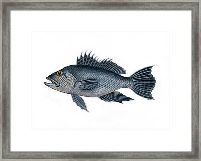 Black Sea Bass 3 Framed Print