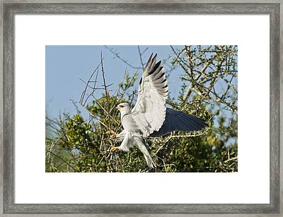 Black-shouldered Kite Framed Print by Science Photo Library