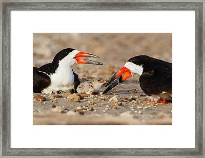 Black Skimmer And Chick Framed Print by Larry Ditto
