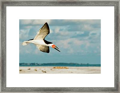 Black Skimmer Bird Flying Close Framed Print