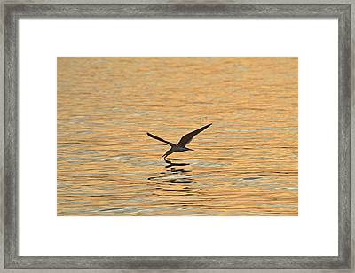 Framed Print featuring the photograph Black Skimmer by Dana Sohr