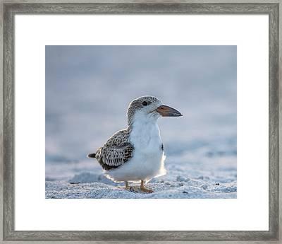 Black Skimmer Fledgling On Beach Framed Print by Maresa Pryor