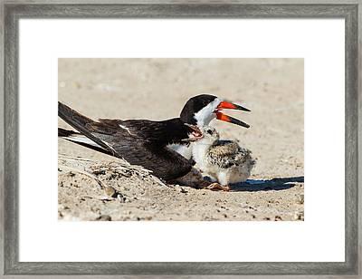 Black Skimmers At Nesting Colony Framed Print