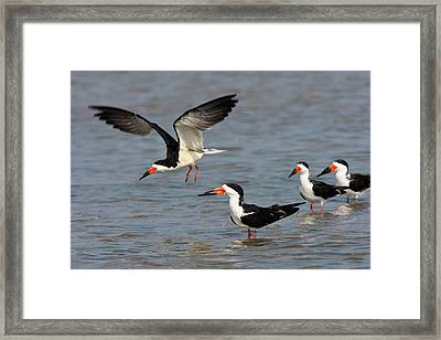 Black Skimmers (rynchops Niger Framed Print by Larry Ditto