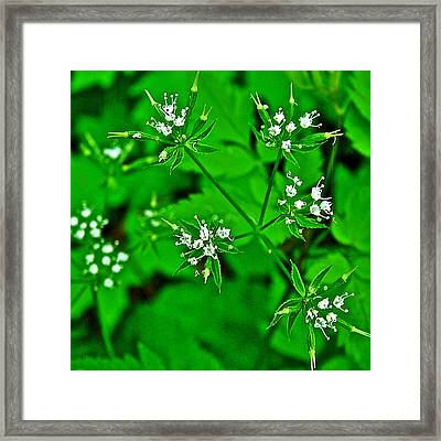 Black Snakeroot In Donivan Slough At Mile 283 On Natchez Trace Parkway-mississippi  Framed Print by Ruth Hager