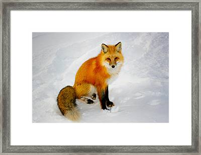 Black Socks Fox Framed Print
