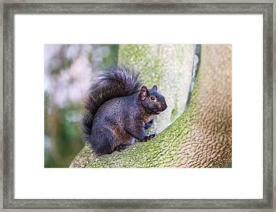 Black Squirrel In A Tree Framed Print by John Devries