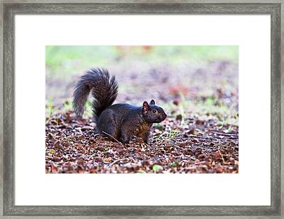 Black Squirrel On The Ground Framed Print