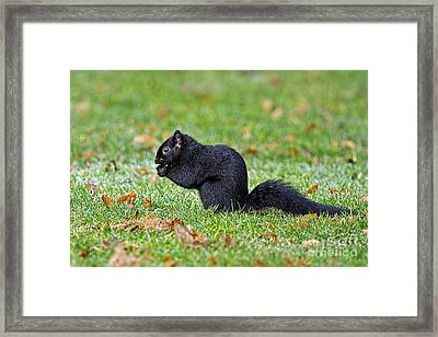 Black Squirrel Framed Print by Sharon Talson