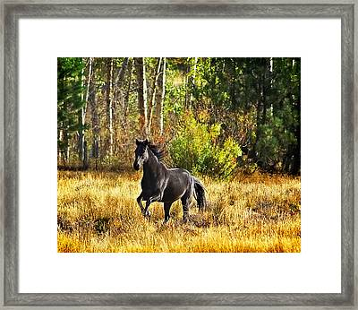 Black Stallion Runs Free Framed Print