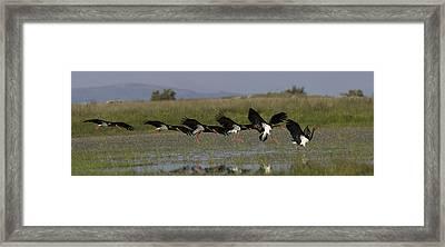 Black Stork Landing. Framed Print