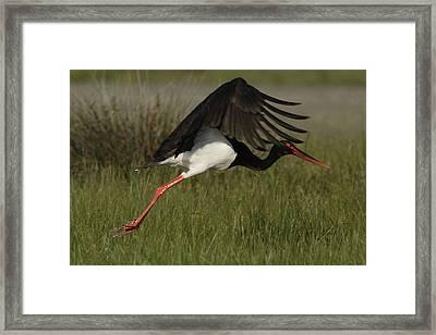 Black Stork Taking Off. Framed Print
