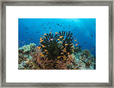 Black Sun Coral And Sea Goldies Fiji Framed Print by Pete Oxford