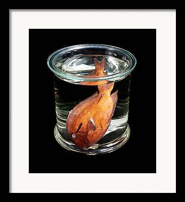 Surgeonfish Framed Prints