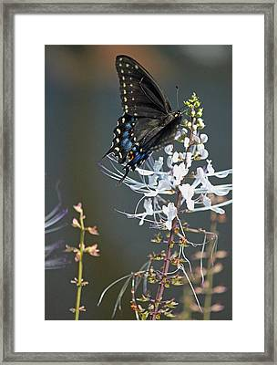 Black Swallowtail Among The Cats Whiskers Framed Print by Suzanne Gaff