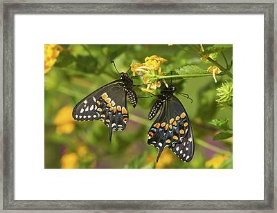 Black Swallowtail Butterflies Papilio Framed Print