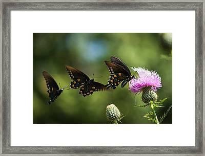Black Swallowtail Butterflies  Papilio Framed Print by Robert L. Potts