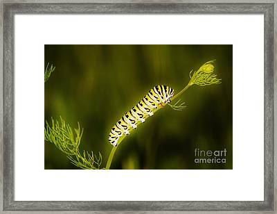 Black Swallowtail Caterpillar Framed Print by Lynda Dawson-Youngclaus