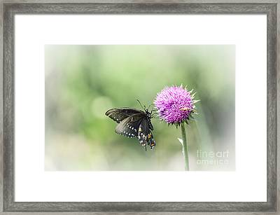 Black Swallowtail Dreaming Framed Print by Debbie Green