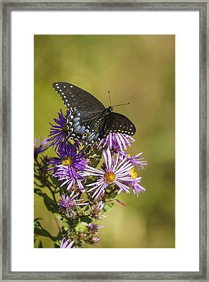 Black Swallowtail On Aster Flower 2 Framed Print by Thomas Young