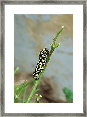 Black Swallowtail (papilio Polyxenes Framed Print by Richard and Susan Day
