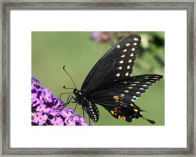 Black Swallowtail Framed Print by Theo