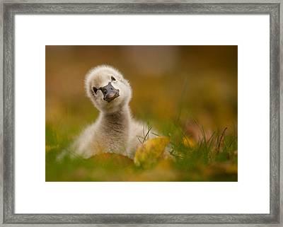 Black Swan Baby Framed Print