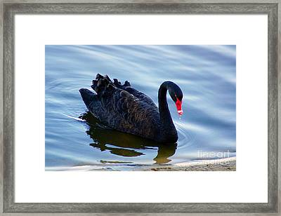 Black Swan Framed Print by Cassandra Buckley