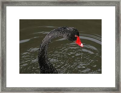 Black Swan Enjoying In Water Framed Print by R J