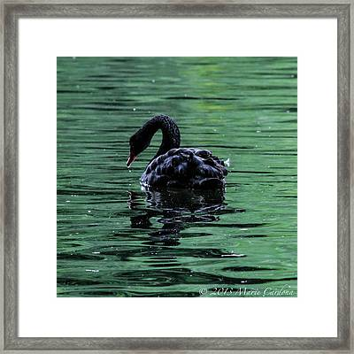 Black Swan I Framed Print by Marie  Cardona