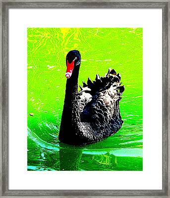 Black Swan Framed Print by John King