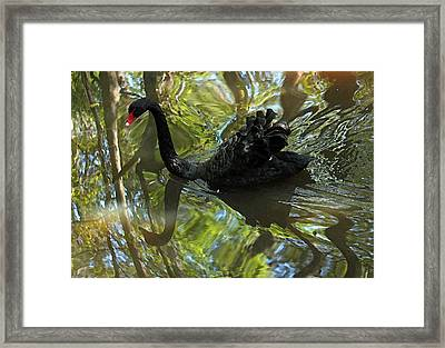 Black Swan Series V  Framed Print