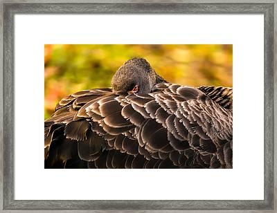 Black Swan Framed Print by Yuri Fineart