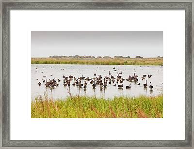 Black Swans And Australian Shelduck Framed Print by Ashley Cooper