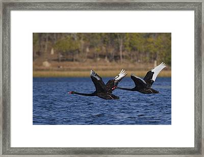 Black Swans In Flight Framed Print