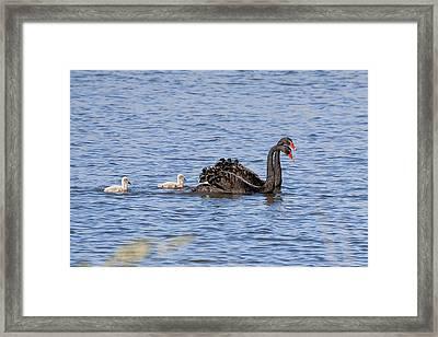 Black Swans Framed Print by Steven Ralser