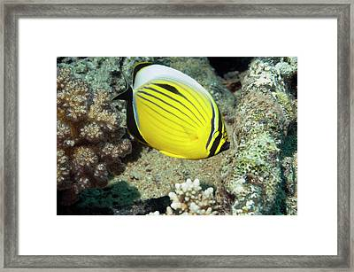 Black-tailed Butterflyfish On A Reef Framed Print